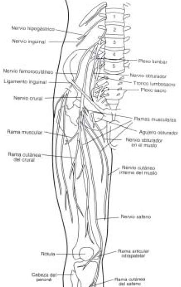 Revisión anatómica de los plexos lumbar y sacro, y de los nervios ...